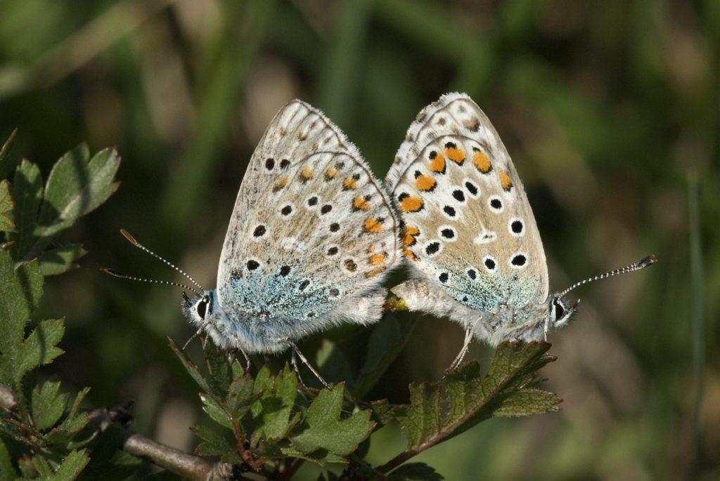 FARFALLE PIU BELLE DEL MONDO polyommatus bellargus
