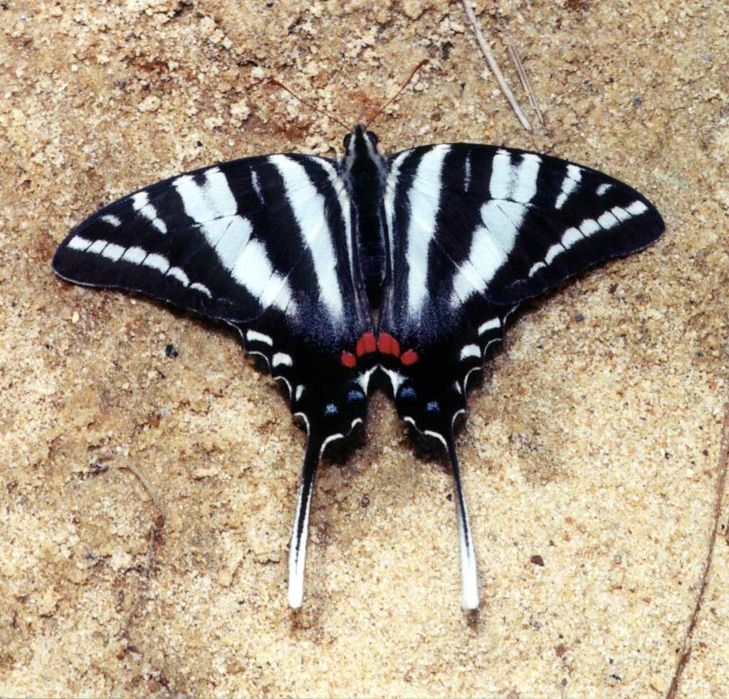 FARFALLE PIU BELLE DEL MONDO protographium marcellus