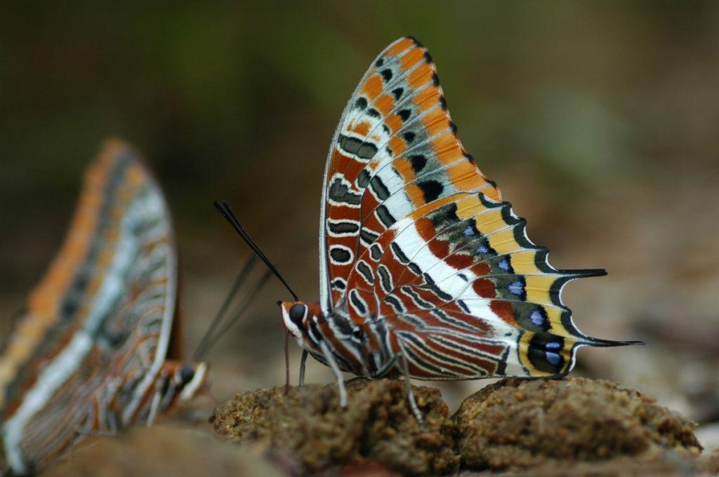 FARFALLE PIU BELLE DEL MONDO farfalla ninfa del corbezzolo