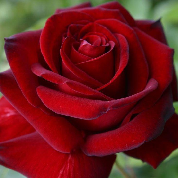 senso della vita ricerca della felicità rosa rossa